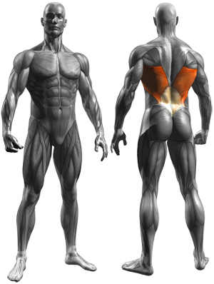 Hyperextensions (Back Extensions) - Muscles Worked