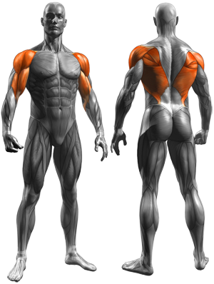 Reverse Grip Bent-Over Rows - Muscles Worked